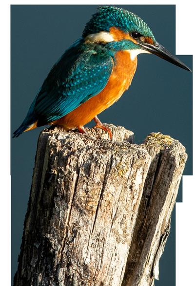 Kingfisher on a log